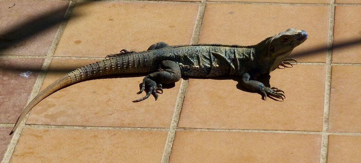 High Angle View Of Lizard On Flooring
