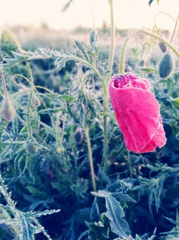 Cold Morning Morning Light Flower Poppy Flower Frosty Plant Nature Red Cold Temperature Growth