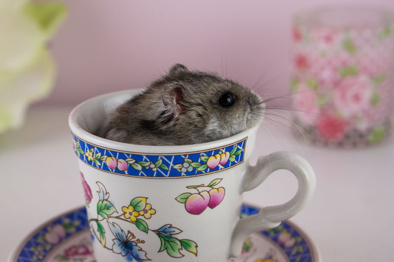 Animal Animal Themes Cup Cute Hamster Mammal No People One Animal Pet Pet Photography  Pets Rodent Whiskers Pet Portraits