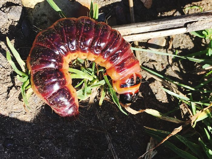 These goat moth caterpillars come out from the tree bark once every five years! Purple Orange Goat Moth Bug Caterpillar Animal Wildlife Animals In The Wild Close-up No People Animal Plant Nature Beauty In Nature Invertebrate