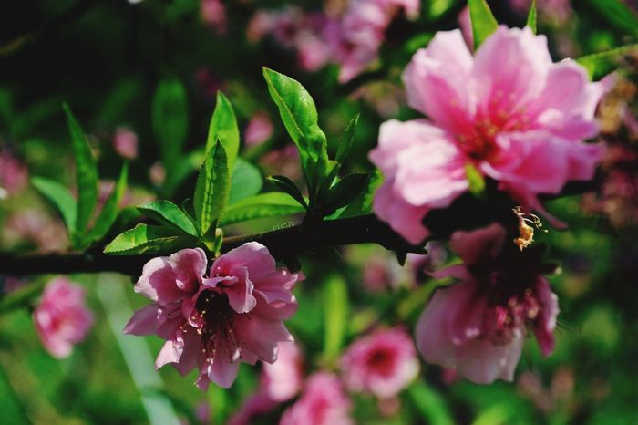 Flower Growth Petal Freshness Pink Color Nature Beauty In Nature Fragility Close-up Focus On Foreground Flower Head Plant Blooming No People Leaf Outdoors Day Rhododendron Horizontal