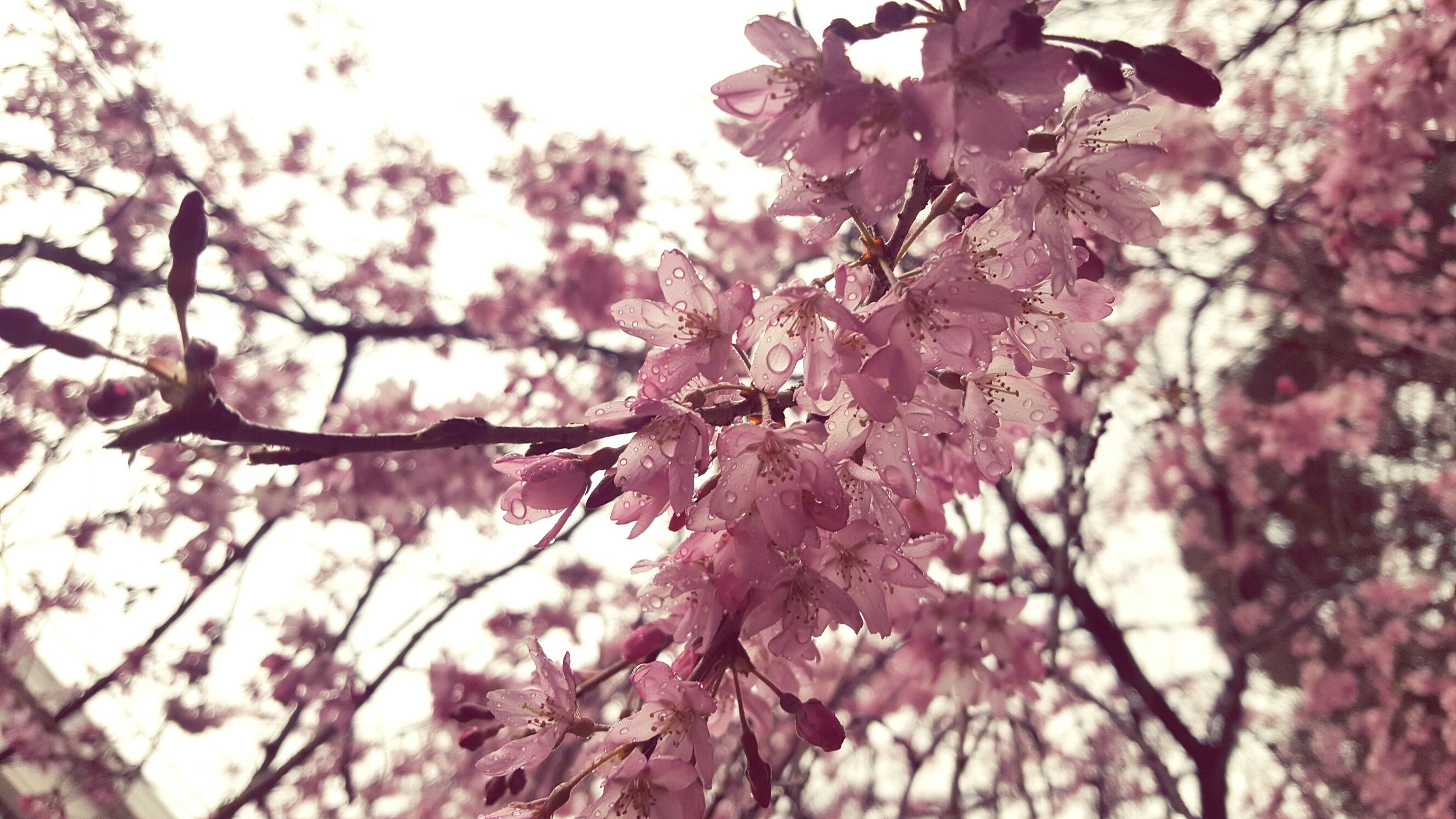 tree, growth, nature, beauty in nature, flower, branch, freshness, fragility, springtime, low angle view, twig, no people, outdoors, close-up, blossom, day, flower head, sky, plum blossom