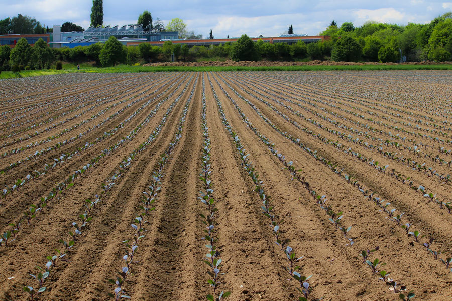 Growing cabbage field Cabbage AAgriculturebBeauty In NaturecCrop dDayFFarmFFieldGGrowthIIn A RowlLandscapeNNaturenNo PeopleoOutdoorspPloughpPlowed FieldrRural ScenesSkyvVegetable