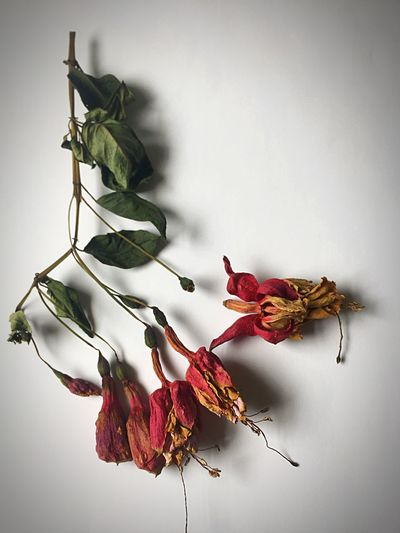 Faded fuchsias Forlorn Fragile Beauty Fragility Withered Flower Herbarium Still Life Fuschia Faded Beauty EyeEm Selects Leaf No People Day Nature Indoors