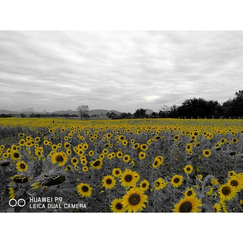 Flower Yellow Agriculture Field Beauty In Nature Rural Scene Nature Crop  Oilseed Rape Growth Plant Farm Fragility Tranquility Outdoors Scenics No People Blossom Abundance Tranquil Scene Sunflowers🌻 Sunflowers Field Sunflower