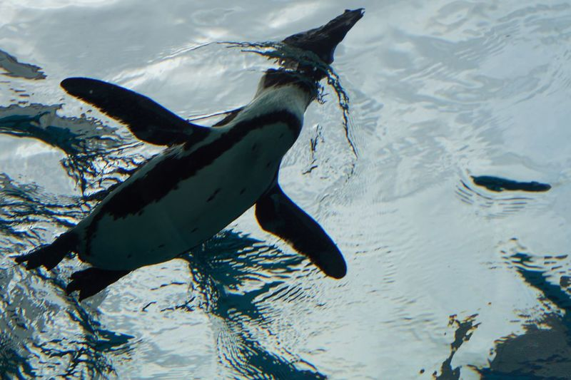 Penguin Animal Themes Animals In The Wild Water No People Aquarium Swimming Day Nature Outdoors Close-up Underwater Taking Photos Surface Low Angle View Getting Inspired Flying Bird Mix Yourself A Good Time