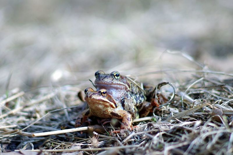 Close-Up Of Frogs Mating On Field