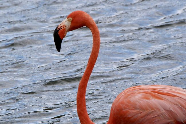 Beauty In Nature Bird Close-up Flamingo Lake No People One Animal Orange Color