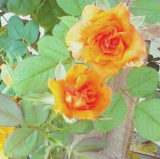 EyeEm Nature Lover Orange Roses Rose Tree Inspirational