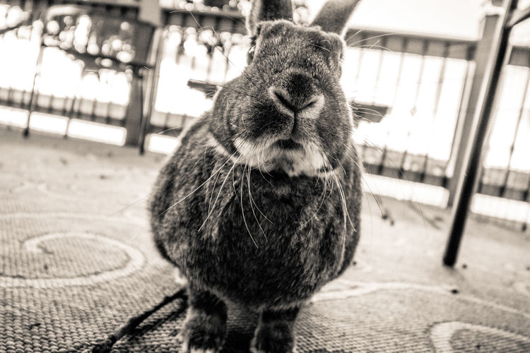 Adorable rabbit pauses for a picture on the deck Funny Profile Animal Themes Black And White Bunny  Bunny Rabbit Close-up Cute Day Domestic Animals Focus On Foreground Lake House  Mammal Mouth And Chi No People One Animal Outdoors Pets Rabbit Rabbit On The Deck Relax Vacation