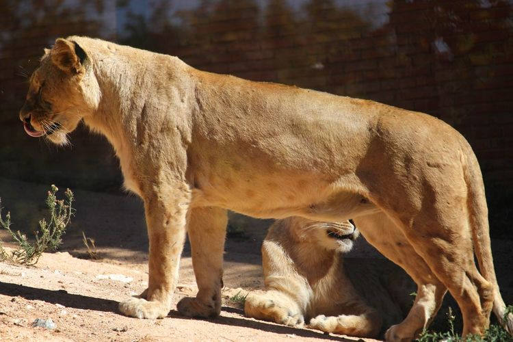 Nature Wild Animal Zoo Animal Animal Themes Animals Beauty In Nature Brown Close-up Day Details Of Nature Feline Feline Portraits Lion - Feline Lioness Lions Mammal No People Outdoors Relaxation Sunlight And Shadow Whisker Wild Cat Zoo Animals  Zoology