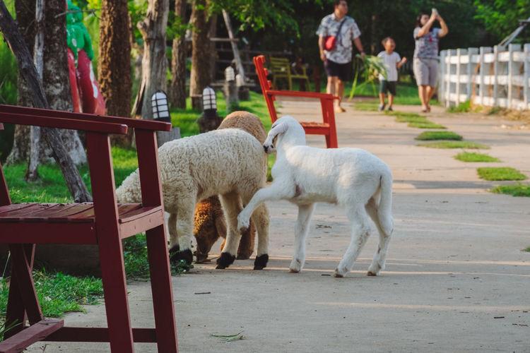 Sheep standing on farm
