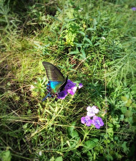 Black butterfly One Animal Animals In The Wild Butterfly Papilio Machaon Papilio Maackii Black Machaon Nature Grass High Angle View Day Outdoors Flower Insect Close-up Beauty In Nature No People Maackii Black Butterfly Summer