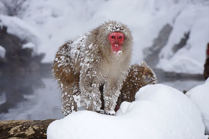 Monkey On Snow Covered Landscape During Winter