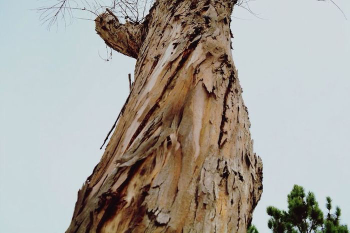Tree Trunk Clear Sky Textured  Low Angle View Tree Nature Beauty In Nature Dramatic Angles Focus On Foreground Tranquility Tall - High Sky Close-up Growth Natural Condition Day