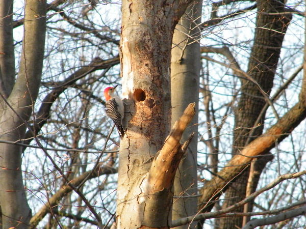 Red-Bellied Woodpecker Bare Tree Beauty In Nature Bird Nature Nesting Place Outdoors Perching Tree House In The Woods Tree Trunk