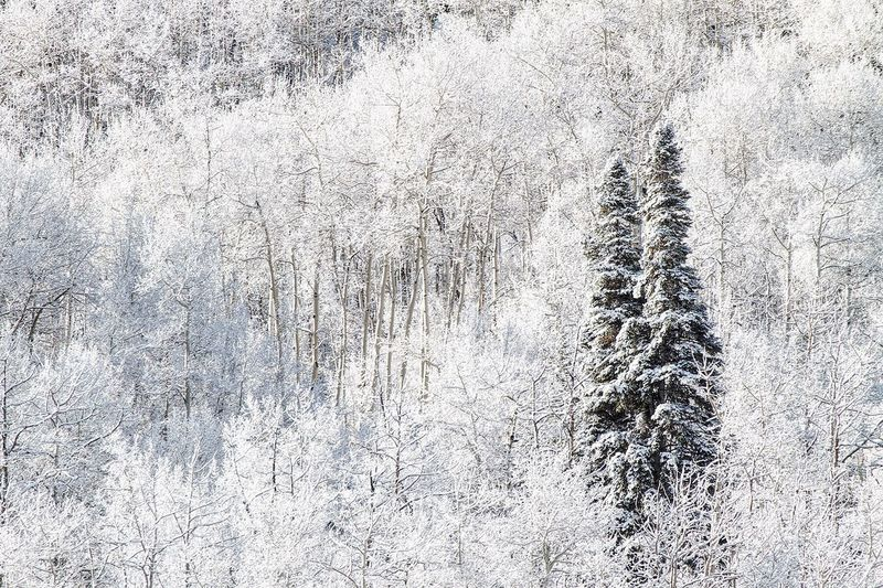 Twin Pines Winter Nature Snow Tree Beauty In Nature Cold Temperature No People Day Tranquility Outdoors Snowing Scenics Birch Tree Weather Landscape Beauty In Nature