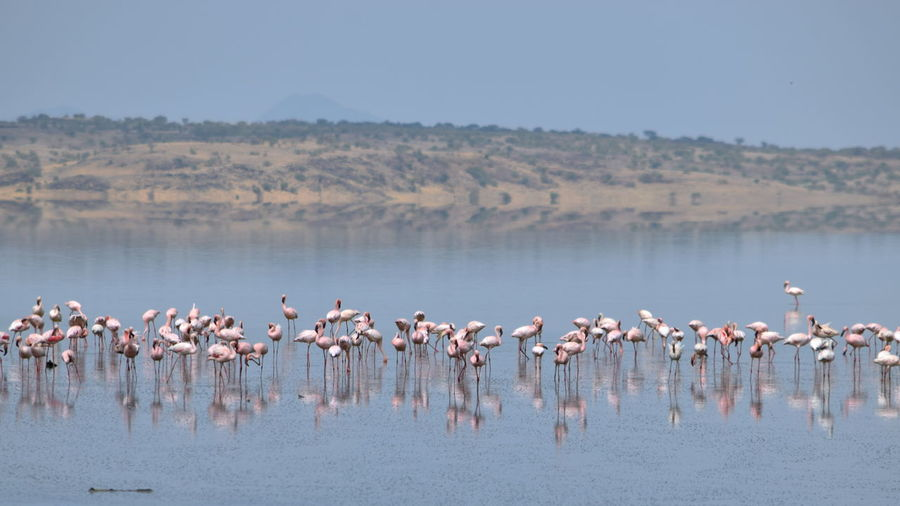 Flock of flamingos in lake against sky, lake magadi, rift valley, kenya