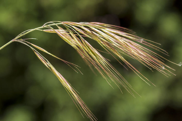 Focus On Foreground Plant Growth Close-up Nature Crop  Agriculture Day No People Cereal Plant Beauty In Nature Selective Focus Field Green Color Outdoors Tranquility Land Wheat Ear Of Wheat Freshness Stalk