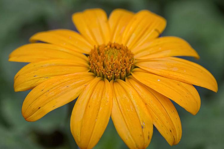 A Gerber daisy