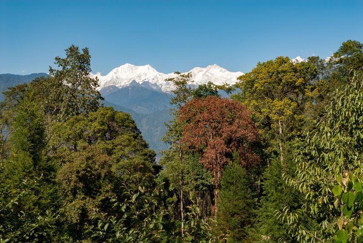 Kanchenjunga massif in the middle Himalayas India Indian Pelling Sanga Choeling Clear Sky Kanchenjunga Landscape Mountain Mountain Peak Nature No People Outdoors Scenics - Nature Sikkim Sky Snowcapped Mountain Tranquil Scene Tranquility Tree
