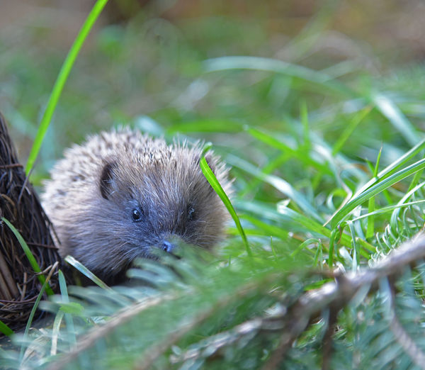 Animal Animal Themes Animal Wildlife Animals In The Wild Blade Of Grass Close-up Day Field Grass Green Color Hedge Hedgehogs Land Mammal Nature No People One Animal Outdoors Plant Rat Rodent Selective Focus Vertebrate Whisker EyeEmNewHere Capture Tomorrow
