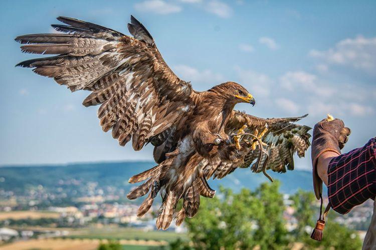falconry Bird