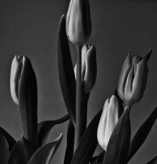 Close-up of tulips against wall