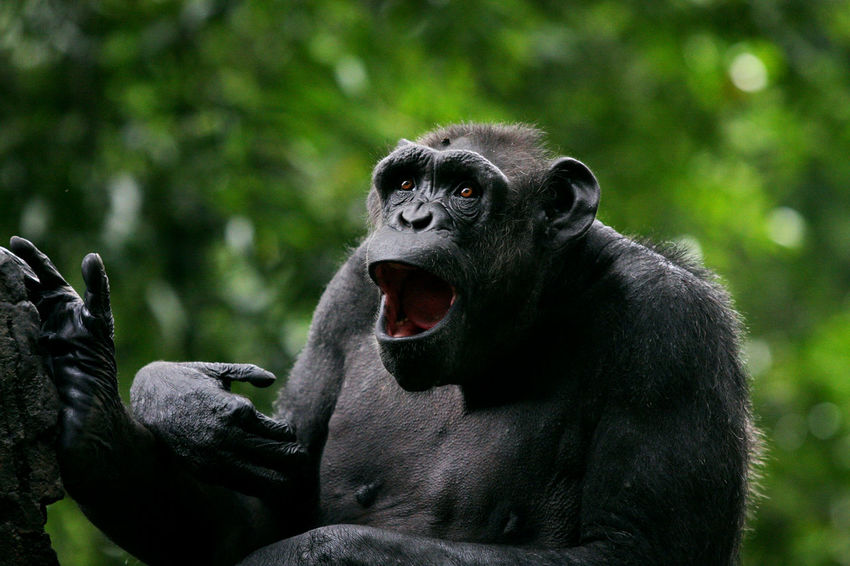 Chimpanzee say Hoooooiiii Animal Themes Animal Wildlife Ape Care Chimpanzee Close-up Day Gorilla Leopard Mammal Monkey Mouth Open No People Orang Utan Outdoors Primate Say Hello Scream Yawning