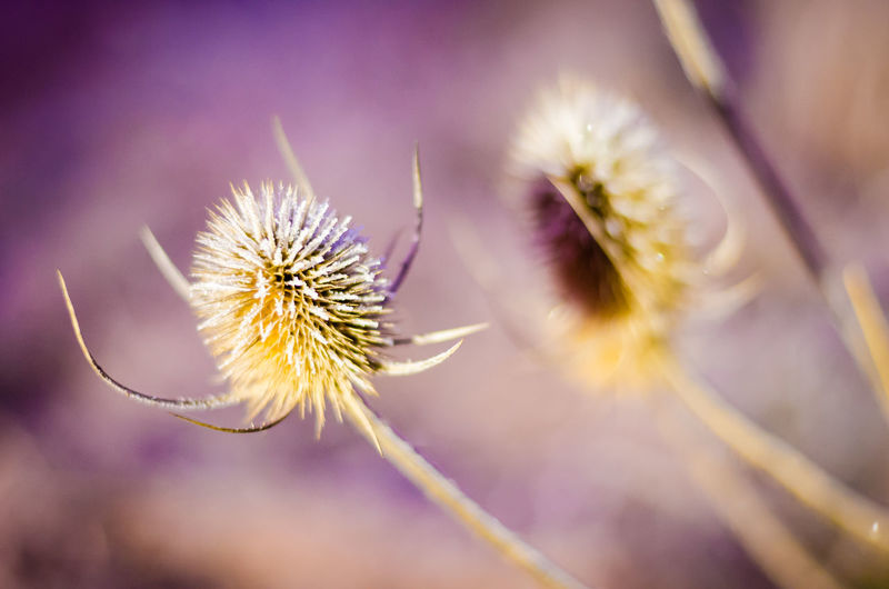 Beauty In Nature Close-up Day Flower Flower Head Fragility Freshness Growth Nature No People Outdoors Petal Plant Thistle