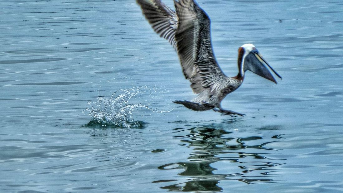 Trinidad And Tobago Port Of Spain Enjoying The Sights Taking Photos Playing With Filters Beautiful Animals  Carenage At The Beach Pelican In Flight