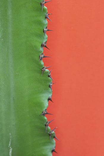 Close-up of cactus plant against red background