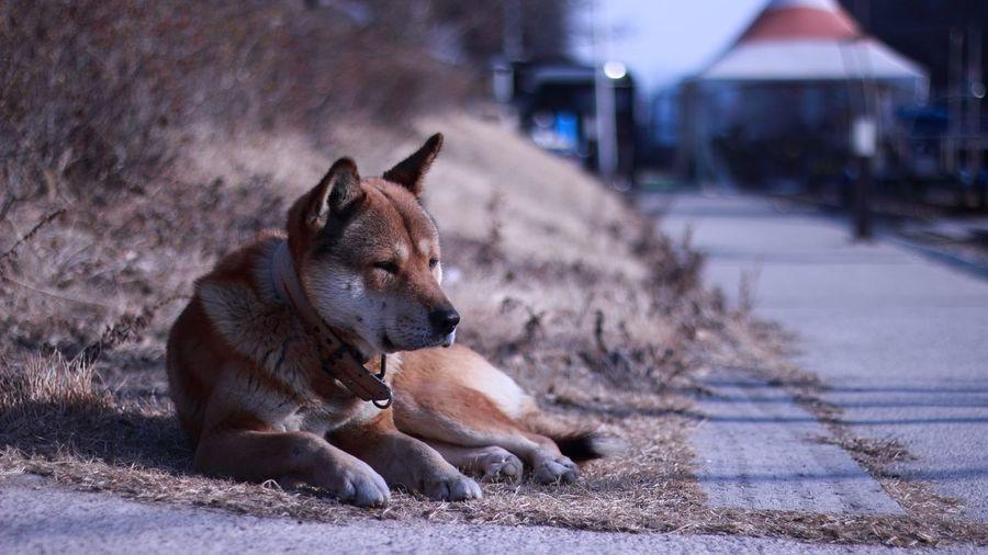 Shiba inu resting on field by road
