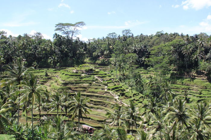 Nature Agriculture Green Color Rural Scene Rice Terraces Tegalalang Bali INDONESIA