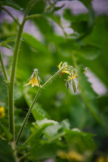 Tomate Beauty In Nature Close-up Day Freshness Green Color Growth Leaf Nature No People Outdoors Plant Plant Plant Life Planting Plants 🌱 Tomatenpflanze Tomatoe Tomatoes Up Close