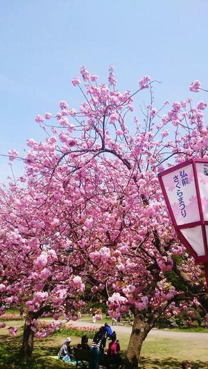 弘前城 Japan Aomori Hirosaki Hirosaki Castle Cherry Blossoms Short Trip