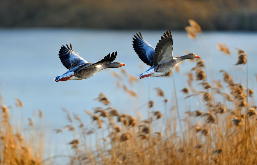 Gray geese in flight Animal Themes Autumn Autumn Colors Autumn🍁🍁🍁 Avian Beauty In Nature Bird Blue Day Flying Focus On Foreground Geese Gathering Gooseberry Mid-air Nature No People Outdoors Selective Focus Sky Spread Wings Taking Off Wild Goose  Wildlife
