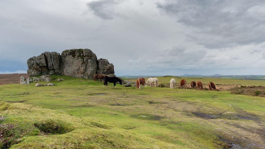 Wild ponies on plumstone mountain pembrokeshire
