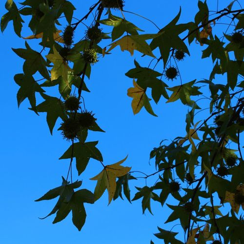 Lovely day to be out with nature. That is until a thuggish yellow jacket came to harass me. 😠 More to come. Blue Clear Sky Outdoors Sweet Gum Tree Branch Close Up Low Angle Of View Autumn Nature From My Point Of View