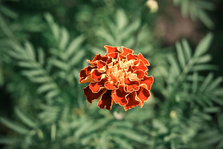 Close-up of red marigold blooming in park during sunny day