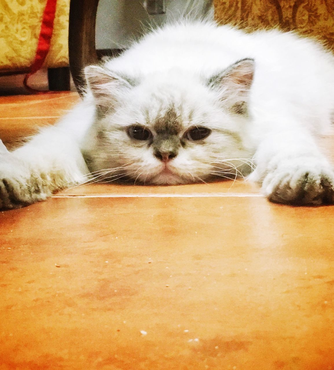 domestic cat, cat, feline, domestic, pets, animal themes, mammal, domestic animals, animal, one animal, vertebrate, relaxation, indoors, portrait, no people, white color, whisker, looking at camera, resting, close-up