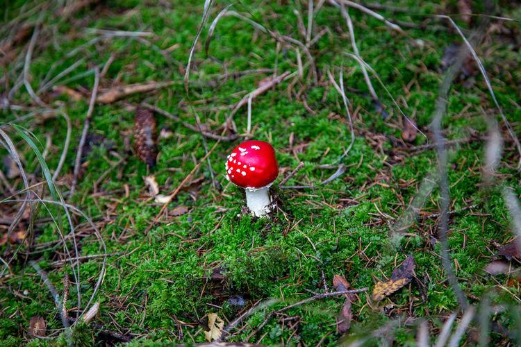 Red mushrooms growing on field