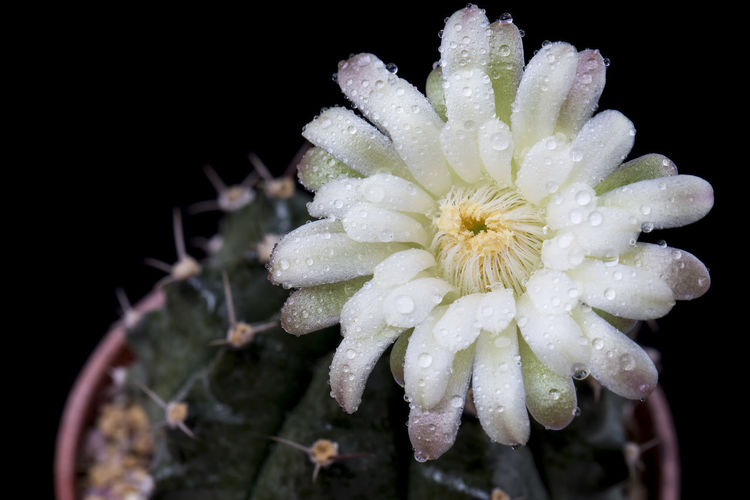 Close-up of wet white flowering plant against black background
