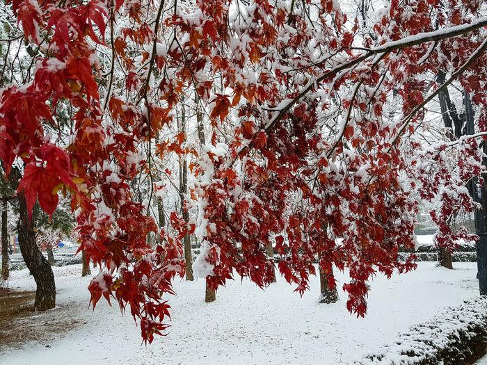 Snow Plant Tree
