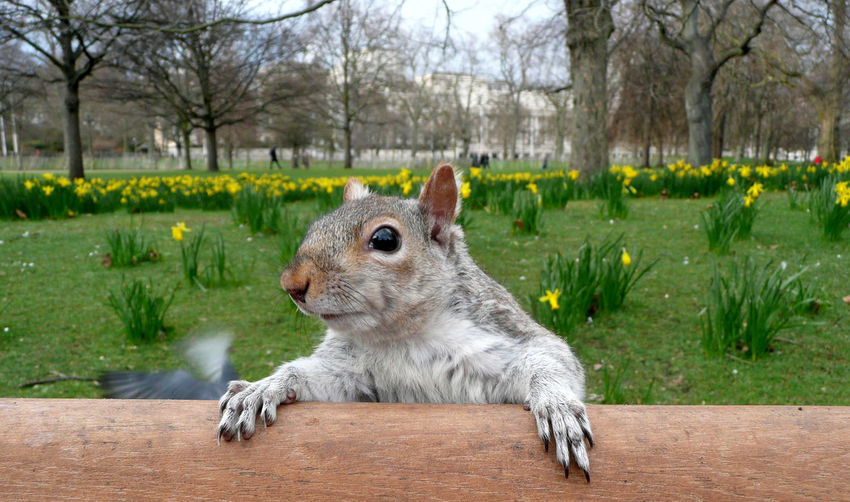 Close-Up Of Squirrel At St James Park