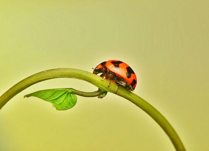 Close-up of ladybug on plant against colored background