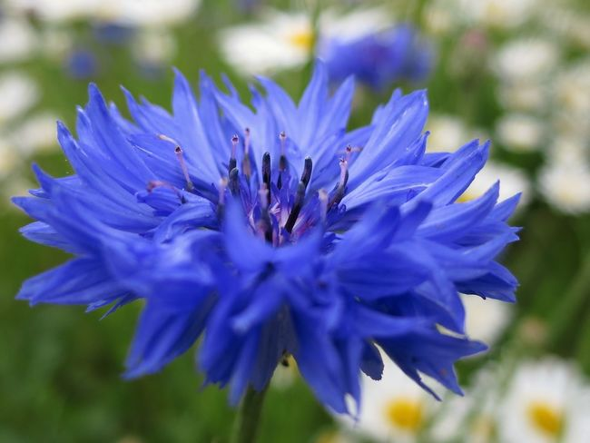 Cornflower in a field of daises. Flower Nature Purple Beauty In Nature Close-up In My Garden Flower Bed Selective Focus Focus On Foreground Outdoors