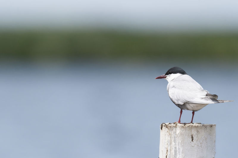 Close-Up Of Tern Perching On Wooden Post