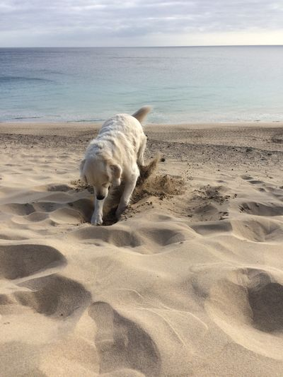 Fuerteventura Sand Beach Dog Digging A Hole Domestic Animals Pets Animal Themes Day Pet Portraits