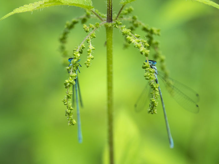 Macro Photography Animal Animal Themes Animal Wildlife Animals In The Wild Beauty In Nature Blue Damselfly Coenagrionidae Dragonflies Dragonfly💛 Focus On Foreground Front View Green Background Insect Insects  Libelle🌾 Nature No People Odonata Outdoors Plant Plant Part Selective Focus Summer